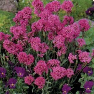 Fleur De Rocaille Vivace Hauteur With Fleur De Rocaille Vivace